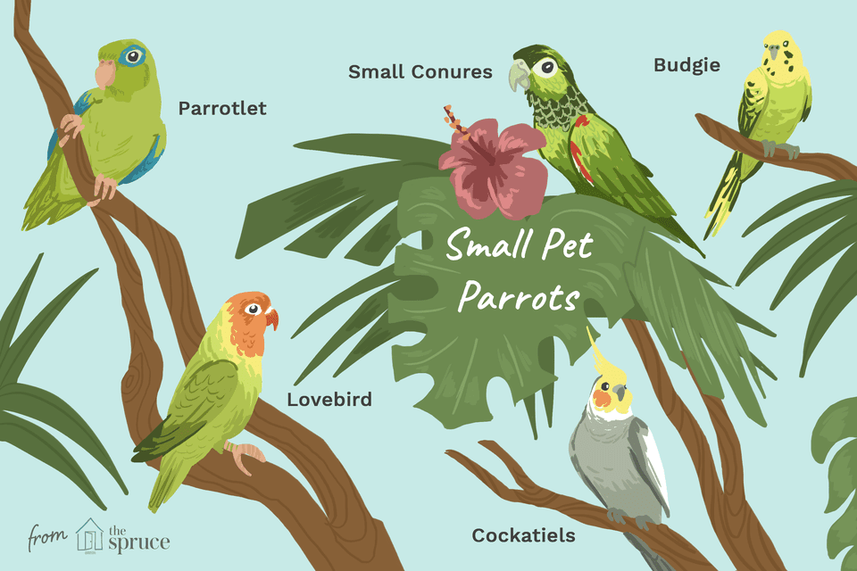 TYPES OF SMALL PET PARROTS
