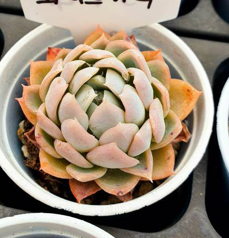 S&CPO1606 - (054) Echeveria White Curry