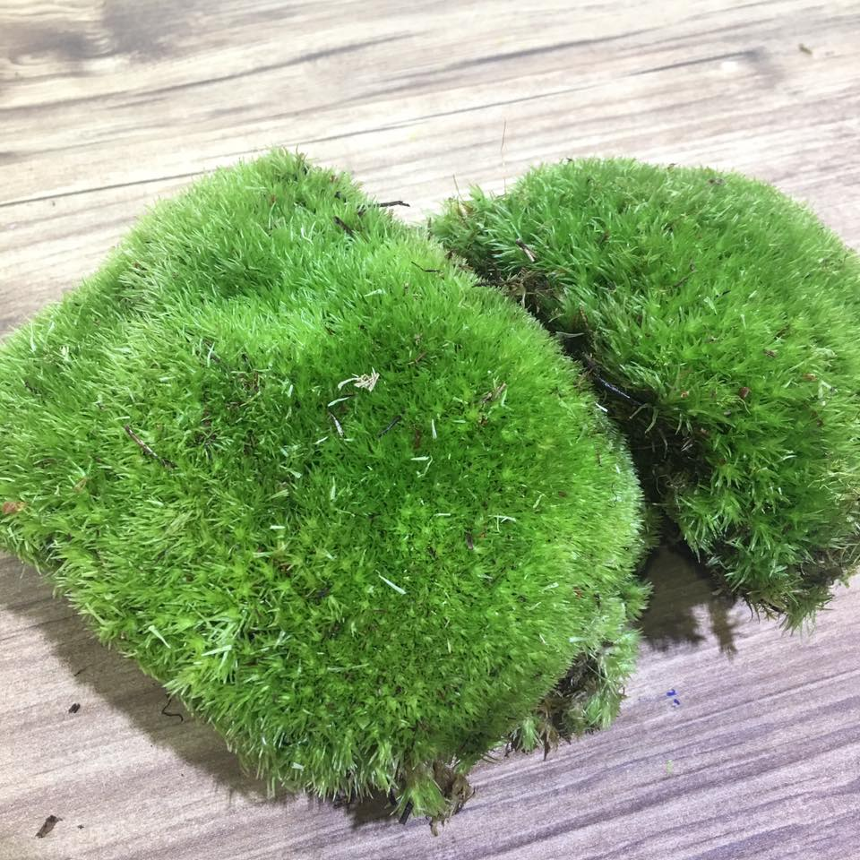 Holland Ball Moss (Tub)