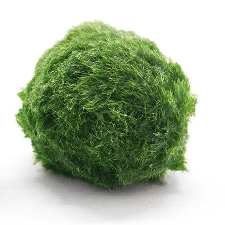 Marimo Ball (1PC / 4-5cm)