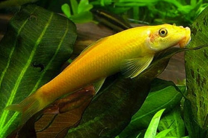 Golden Algae Eater