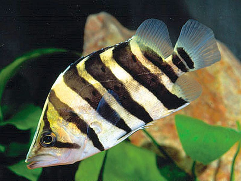 "Indonesian Tiger Fishes (4-5"")"