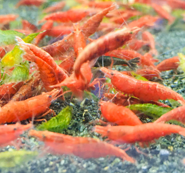 Painted Red Shrimps (10 pc)