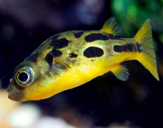 Indian Dwarf Puffer fish (Snail Control)