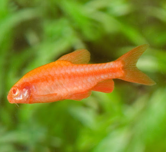 Albino Cherry barb