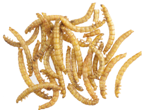 Meal Worm (3 Tubs)