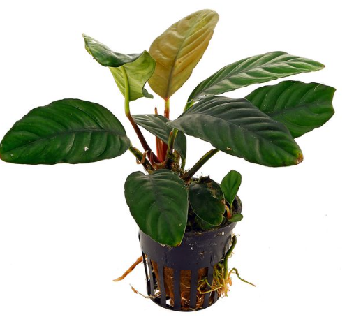 Anubias coffeefolia (1 POT)