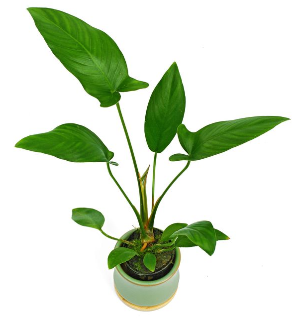 Anubias hastifolia (1 POT)