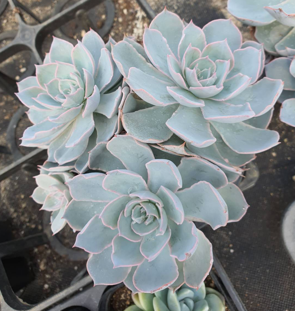 S&CPO77 - (064) Echeveria peacockii (養老群生)