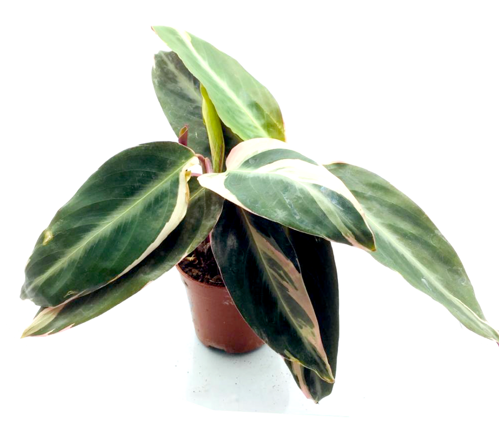 Calathea spp color