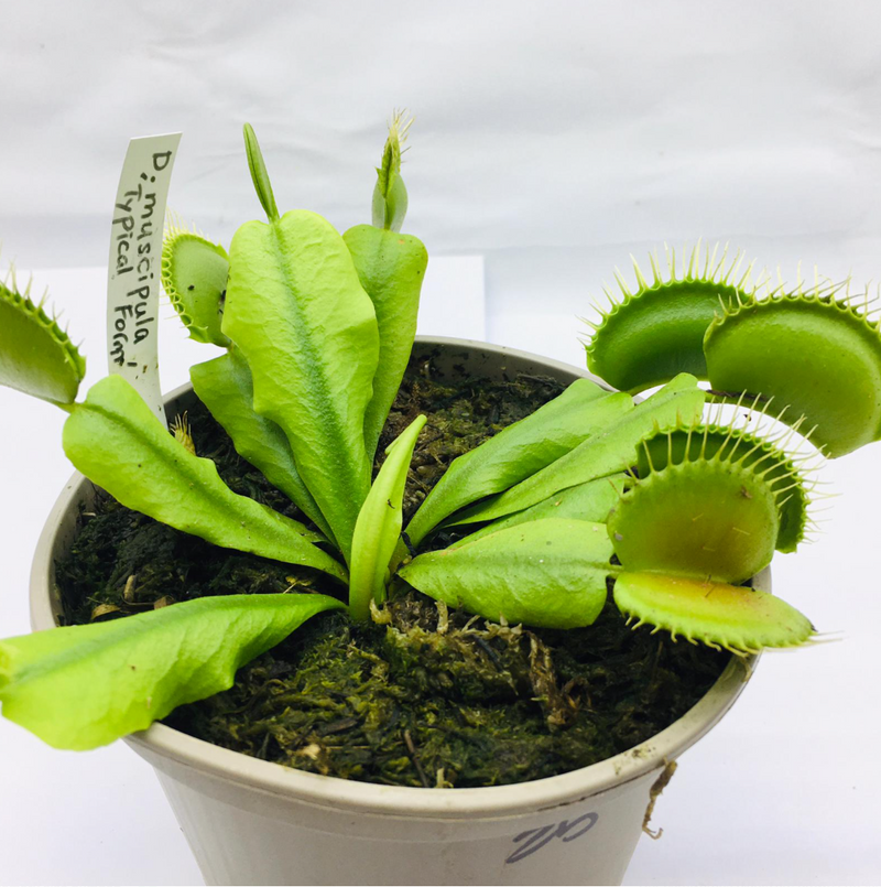 Dionaea muscipula 'Typical Form' (Venus Fly Trap)