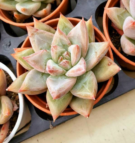 S&CPO915 - (011) Echeveria Seven Night (Air Magic Nursery / 5cm Pot)