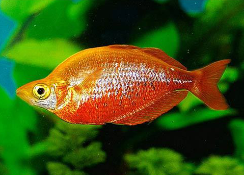 Glossolepis Incisus (Red Rainbowfish)