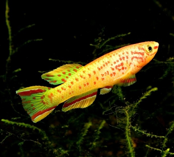 Fundulopanchax gardneri Golden (Pair)