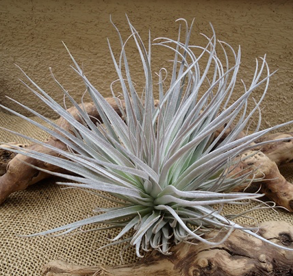 Tillandsia cotton candy