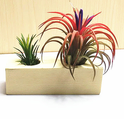 TERRA POTS Air Plant Holder (Wood Seat / Double)