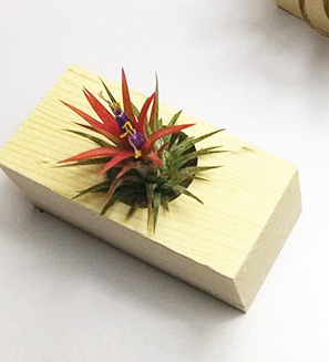 TERRA POTS Air Plant Holder (Wood Seat / Single)