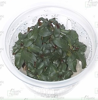 AQUATIC-FARMER TC (Ludwigia glandulosa / LUD07)