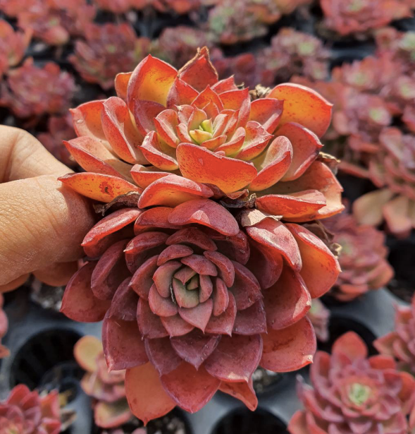 S&CPO2620 - (026) Echeveria noble red