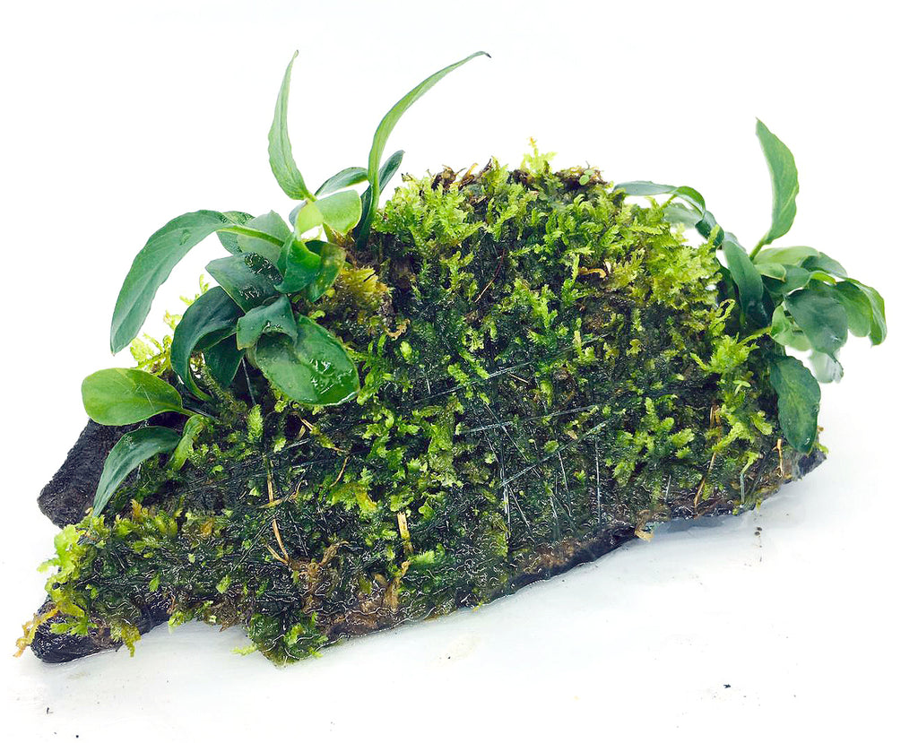 Anubias barteri var. nana 'Bonsai' (On Wood / With Moss)