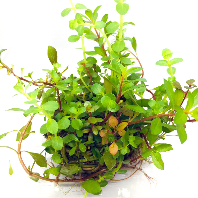 Wabi Kusa (Stem / Assorted Stem Rotala Ludwigia #2)
