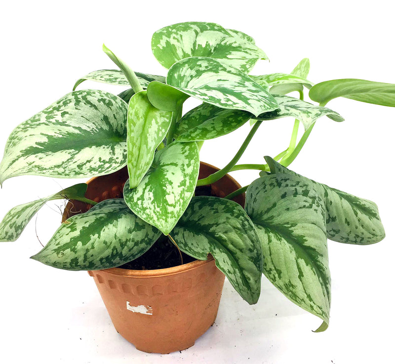 Epipremnum (Money plant) #1