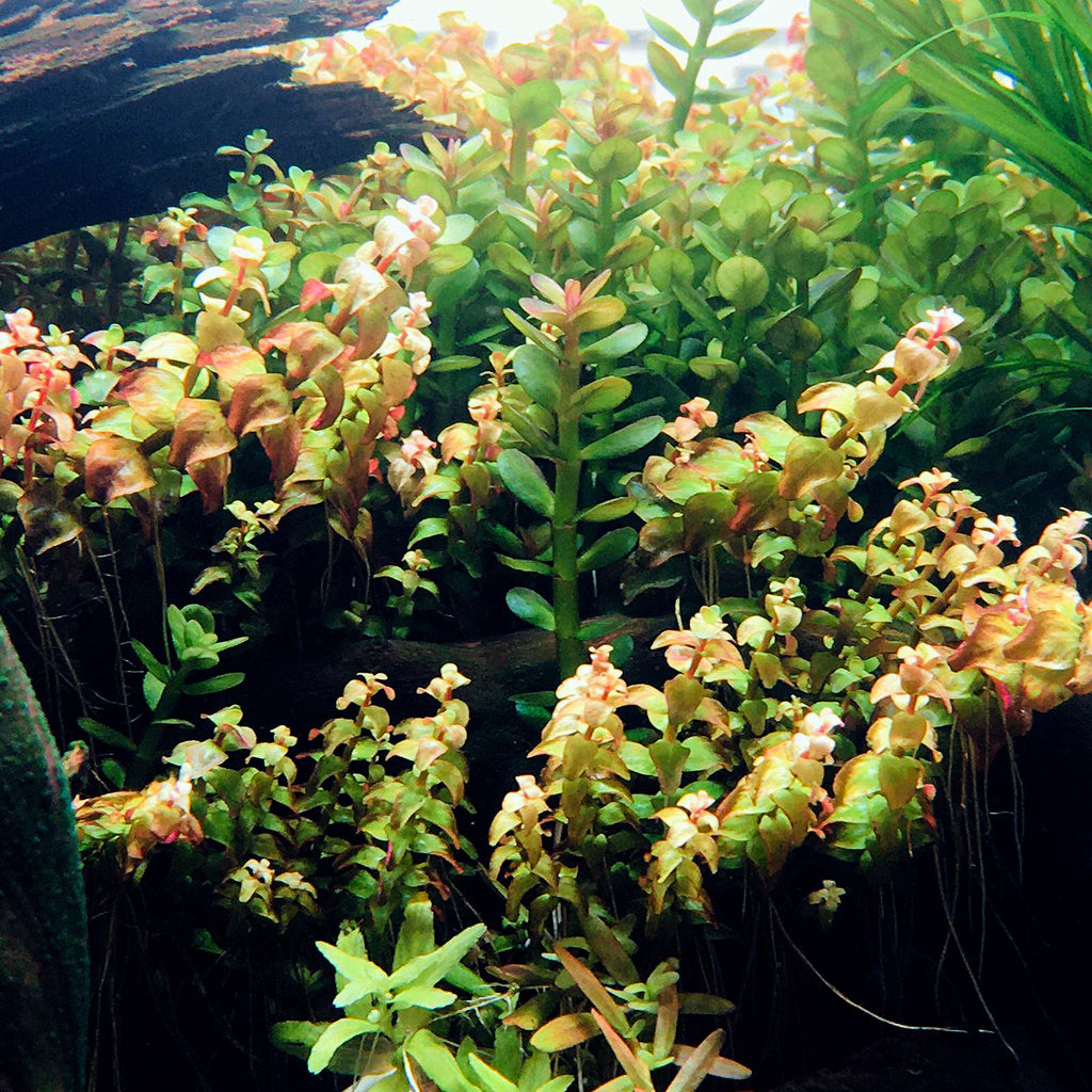 Rotala sp Pearl (1 POT)