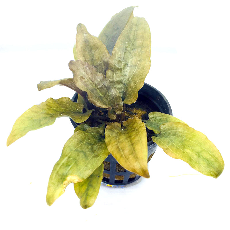 Cryptocoryne wendtii 'Brown' (1 POT)