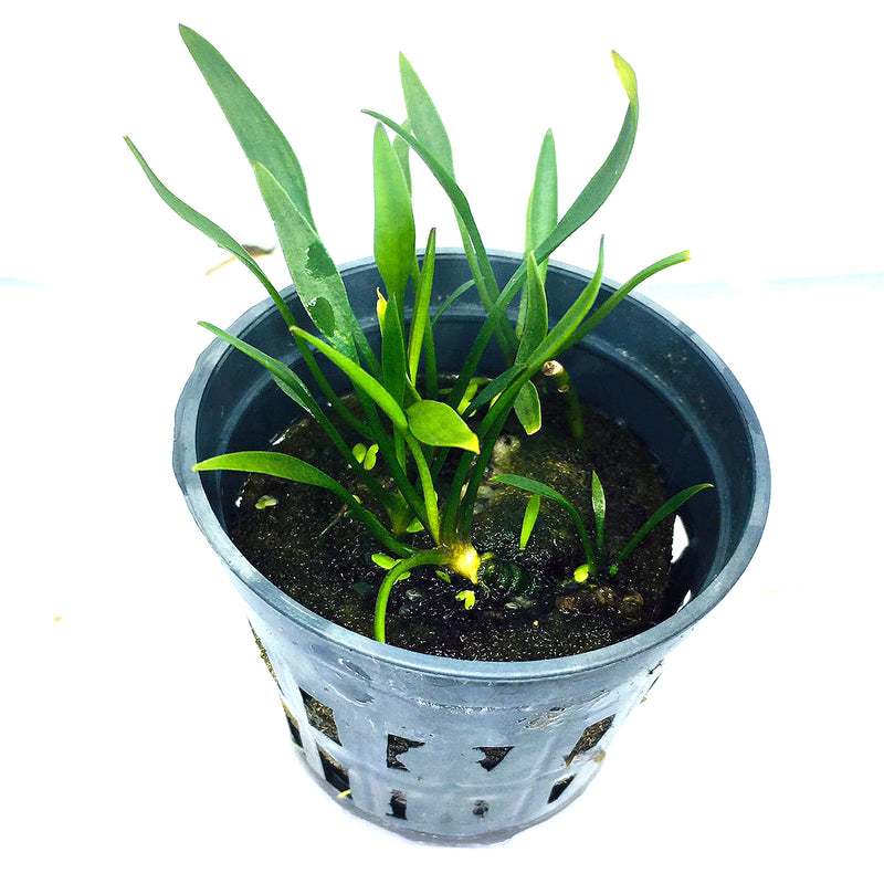 Cryptocoryne parva (1 POT / 087)