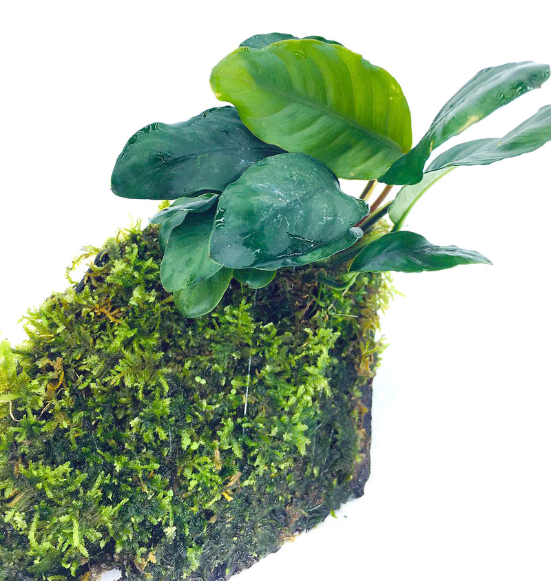 Anubias coffeefolia (On Wood / With Moss)