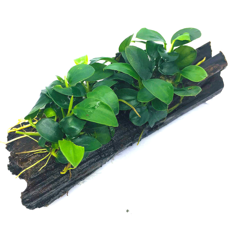 Anubias barteri var. nana 'Petite' (On Wood)