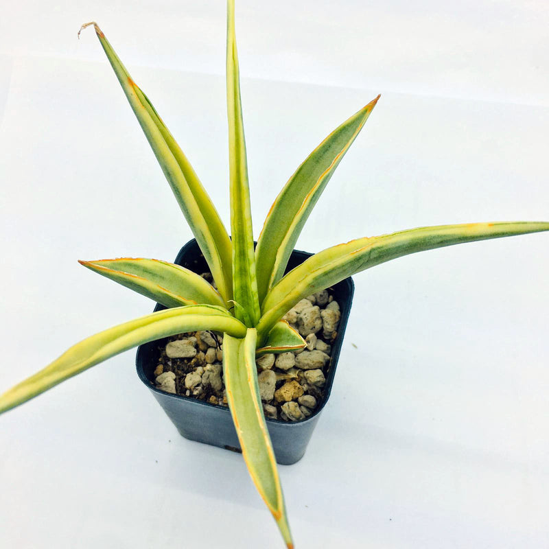S&C Agave spp