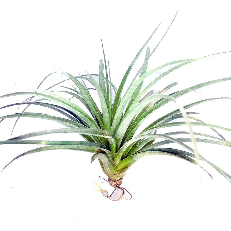 Tillandsia sp 2