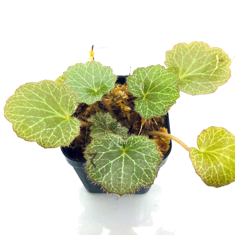 Begonia Strawberry (Sp Japan)