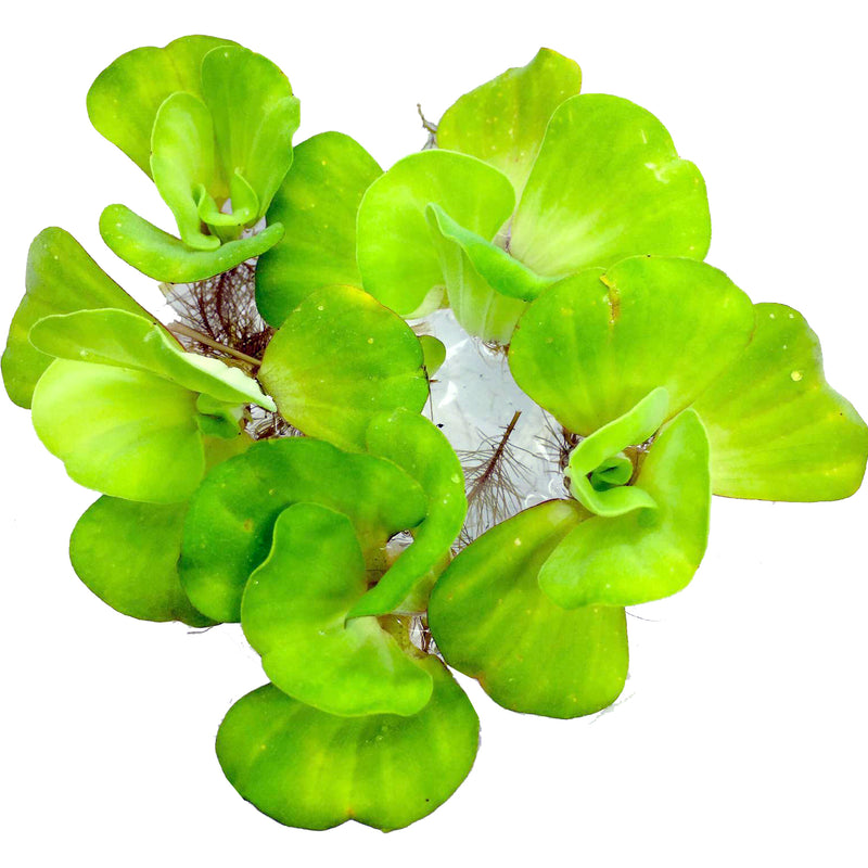 Floating Plants #2 (Water Lettuce / Bag)