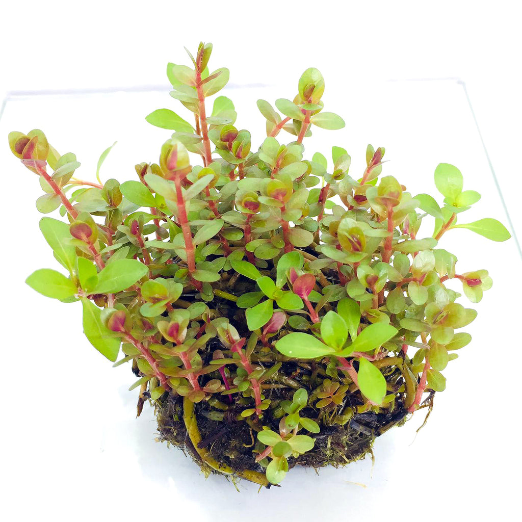 Wabi Kusa (Stem / Rotala red)