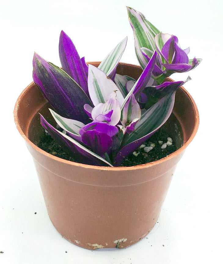 Tradescantia purple variegated