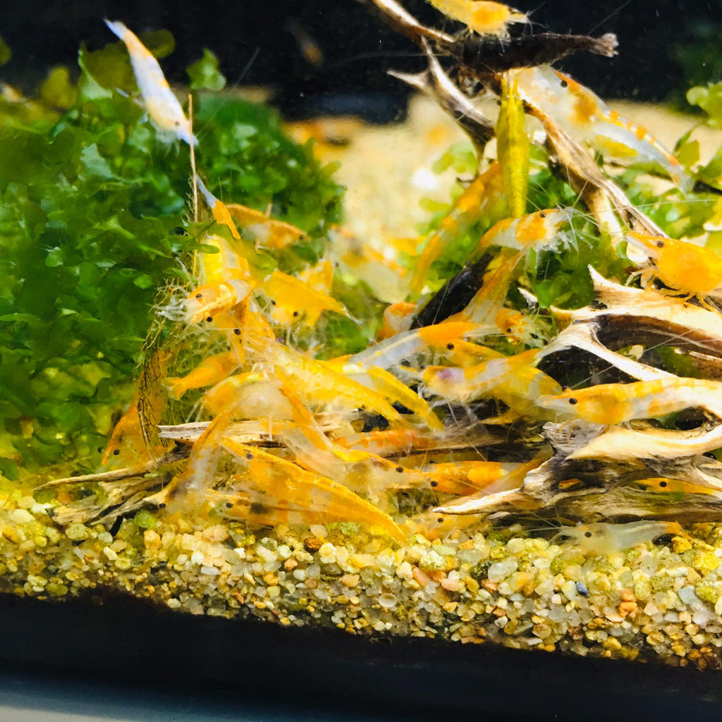 Rili Shrimps (Orange / 10 pc)