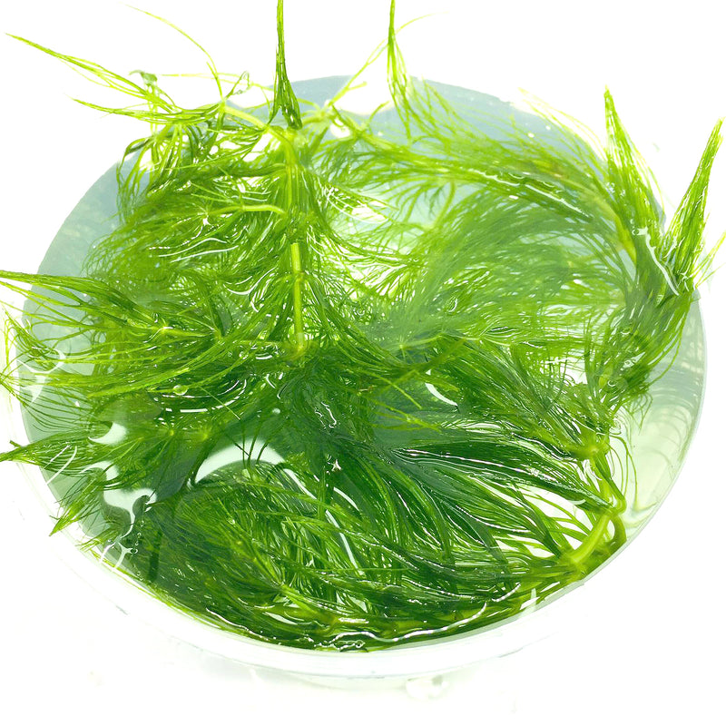 Floating Plants #5 (Hornwort / Bag)