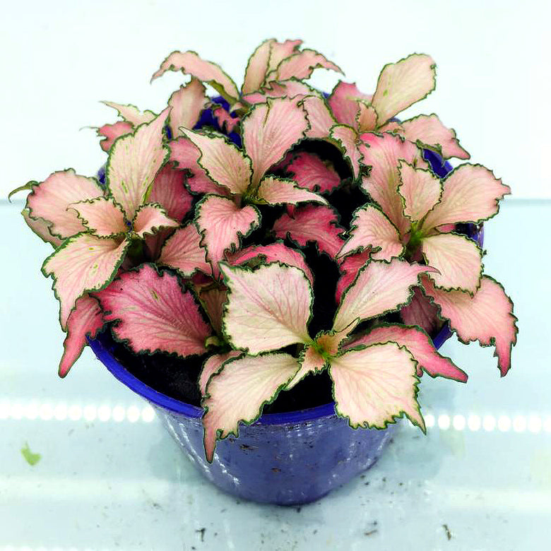 Fittonia (Pink White w Green Edge)