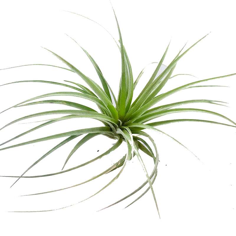 Tillandsia sp 1