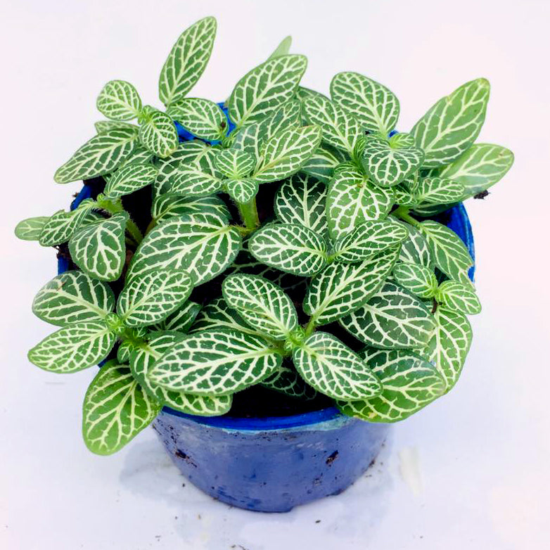 Fittonia (Green & White Line)