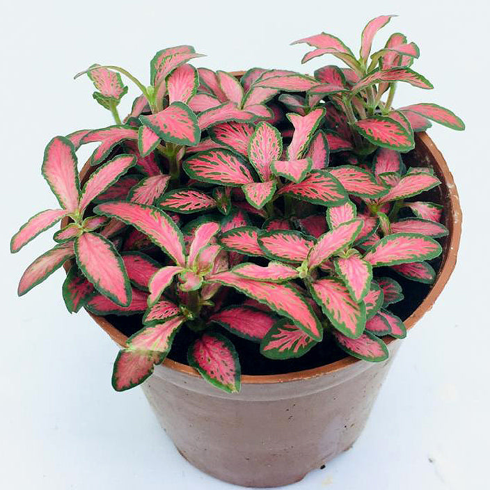 Fittonia (Pink Red w Dark Green Edge)