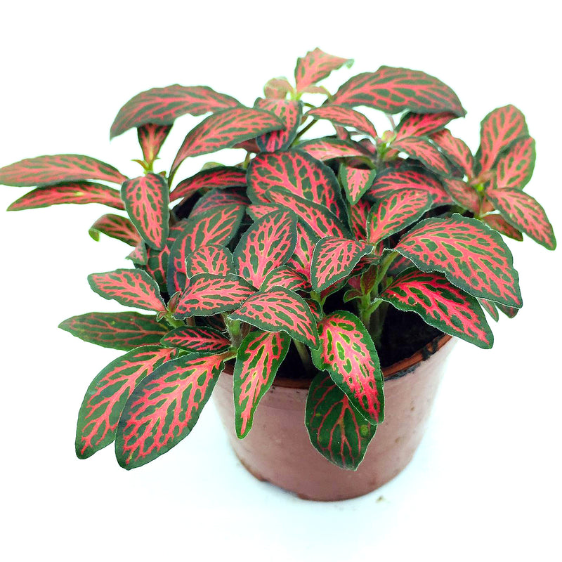 Fittonia (Dark Green & Red Line)