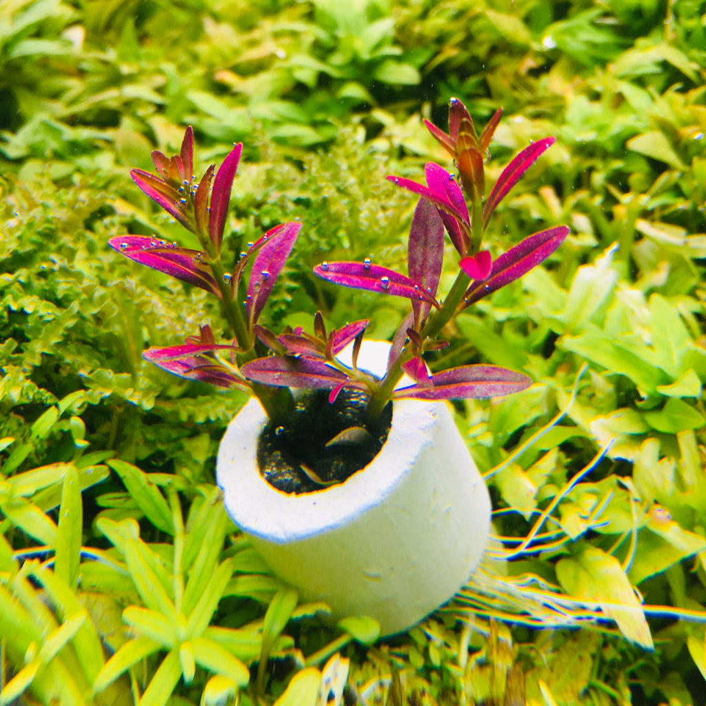 Rotala ramosior 'Florida' (2 Stems / 1 POT)