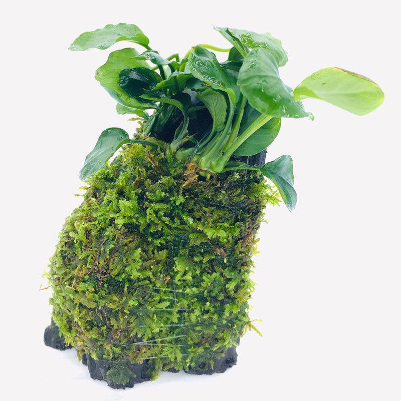 Anubias sp Coin leaf (On Wood / With Moss)