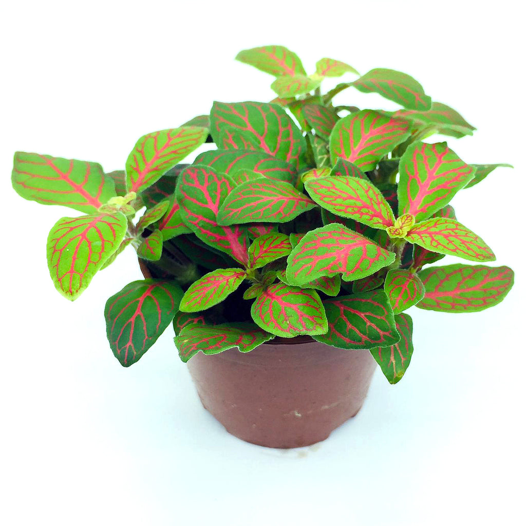 Fittonia (Red Line Green)
