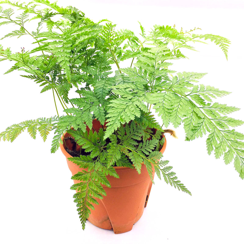 Davallia (Rabbit foot fern / 12cm pot)