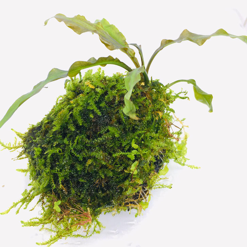 Wabi Kusa (Stem / Cryptocoryne albida on Moss