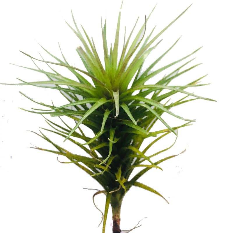 Tillandsia sp #1